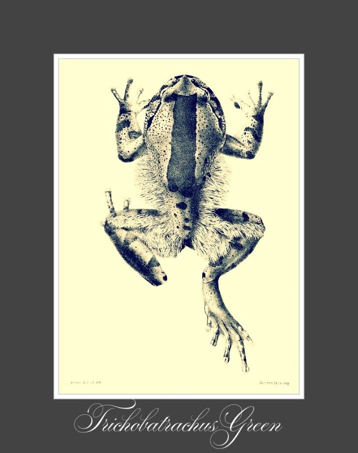 Hairy Frog (via Wikipedia)