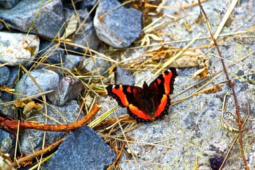 Winged orange and black